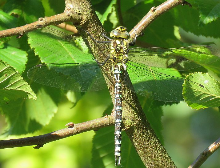 Immature male Southern Hawker